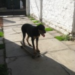 Duke, the skateboarding dog!